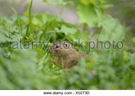 European ground squirrel, Spermophilus citellus, meadow, side view, standing, - Stock Photo