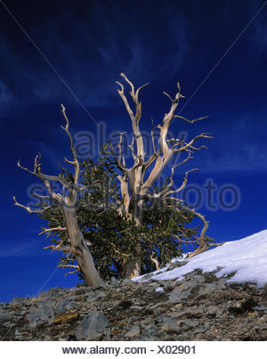 Grannenkiefer, (Pinus aristata) White Mountains, Kalifornien, USA - Stock Photo