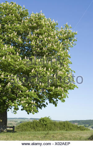 Common horse chestnut, Aesculus, hippocastanum, blossom, scenery, spring, plants, soap tree plants, trees, foliage woods, broad-leaved trees, chestnut tree, blossoms, inflorescences, summer-green, width, distance, rurally, nobody, curled, nature, season, - Stock Photo
