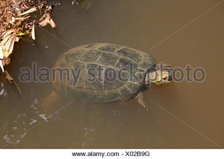 yellow-headed temple swimming in the water - Stock Photo