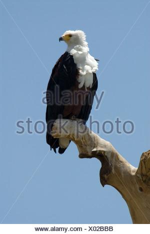 African Fish Eagle Haliaeetus vocifer Ethiopia - Stock Photo