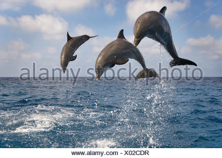 Three Bottle-nosed dolphins (Tursiops truncatus) breaching, Bay Islands, Honduras, Caribbean. Controlled conditions. - Stock Photo