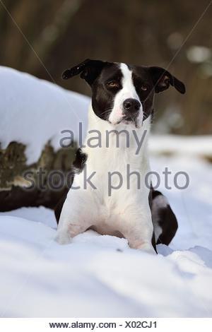 mongrel in snow - Stock Photo