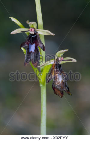 Fly Orchid, Ophrys insectifera - Stock Photo