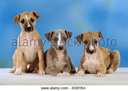 three whippet puppies - cut out - Stock Photo