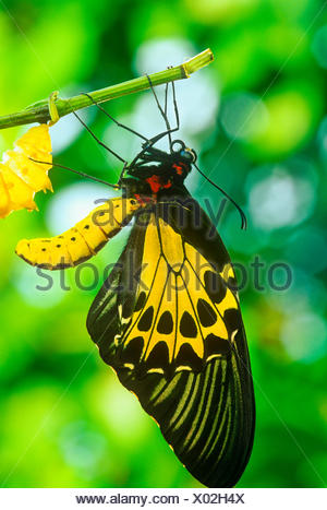 Common Birdwing Butterfly emerging from pupal case, (Troides helena cerberus), female, dorsal view, - Stock Photo
