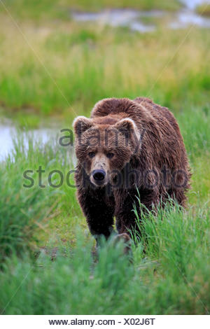 Grizzly Bear (Ursus arctos horribilis), adult, male, Brooks River, Katmai National Park and Preserve, Alaska, United States - Stock Photo
