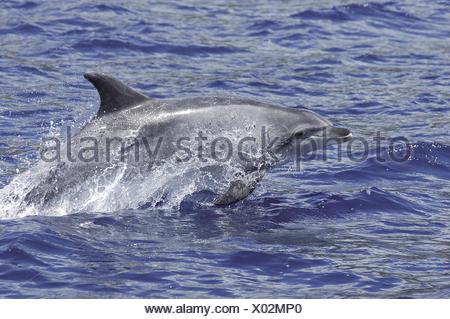 An bottlenose dolphin, Tursiops truncatus, leaping. - Stock Photo