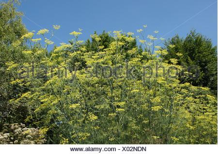 Foeniculum vulgare, Fenchel, fennel - Stock Photo
