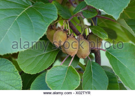 kiwi fruit, Chinese gooseberry (Actinidia deliciosa 'Jenny', Actinidia deliciosa Jenny), fruit on a branch - Stock Photo
