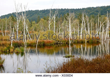 Moor after renaturation, restoration of waterlogging, Egling, Bavaria - Stock Photo