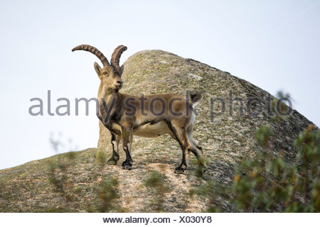 Spain, Madrid, La Pedriza, Spanish wild goat, capra pyrenaica - Stock Photo