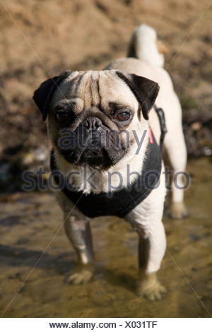 Young pug standing with the legs in the water - Stock Photo