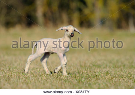domestic sheep (Ovis ammon f. aries), lamb on pasture, Germany - Stock Photo