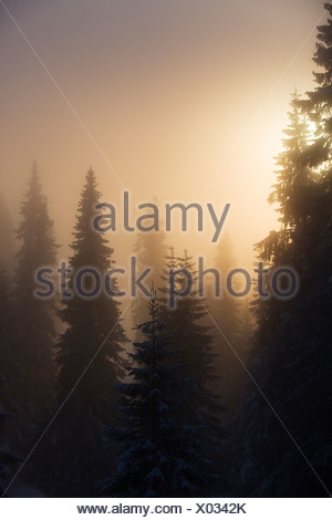 Scenic view of snow-capped fir trees in the hazy sunshine - Stock Photo