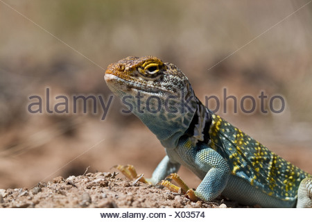 Yellow headed collared Lizard from Utah USA - Crotaphytus collaris auriceps. - Stock Photo