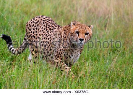 cheetah (Acinonyx jubatus), walking on high grass, Kenya, Masai Mara National Park - Stock Photo