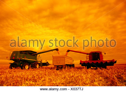 Two combines unload freshly harvested grain corn into a grain truck in the field in late afternoon light / Manitoba, Canada. - Stock Photo