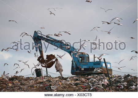 Gulls mainly Herring and Black-headed Gulls on rubbish tip Edgfield Norfolk winter - Stock Photo