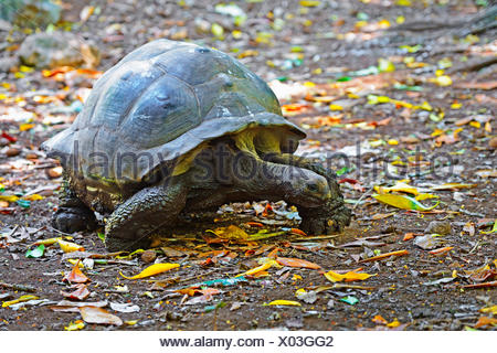 Seychelles giant tortoise, Aldabran giant tortoise, Aldabra giant tortoise (Aldabrachelys gigantea, Testudo gigantea, Geochelone gigantea, Megalochelys gigantea), on the feed, Seychelles, Cousin - Stock Photo