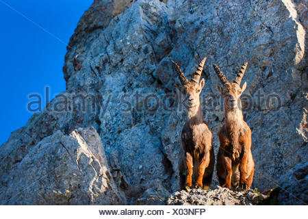 Alpine ibex (Capra ibex, Capra ibex ibex), two Alpine ibexes standing in morning light side by side on a cliff edge and looking down, Switzerland, Alpstein, Saentis Stock Photo