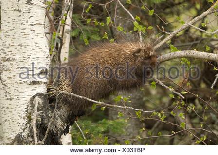 Een Noord-Amerikaans Stekelvarken liggend in een boom,A Porcupine laying in a tree. - Stock Photo