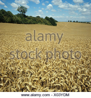 Ripe golden wheat on a fine summer day in a rolling chalk downland field - Stock Photo