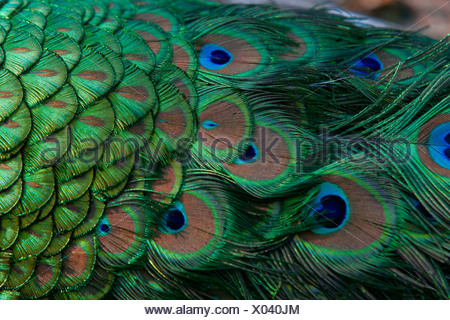 common peafowl (Pavo cristatus), feathers, D Entrecasteau Nationalpark - Stock Photo
