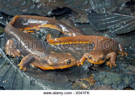 Courting rough-skinned newts (Taricha granulosa), temperate rainforests, central coast British Columbia, Bella Coola, Canada - Stock Photo