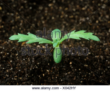 Corn marigold (Chrysanthemum segetum) seedling with two true leaves Stock Photo