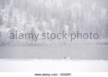Lone Trumpeter Swan Cygnus buccinator on Vaseux Lake in the winter during a snow storm in Okanagan Falls British Columbia - Stock Photo