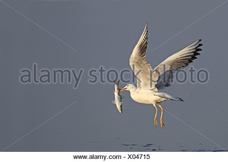 slender-billed gull (Larus genei), flying with a fish in the bill, Spain, Andalusia - Stock Photo