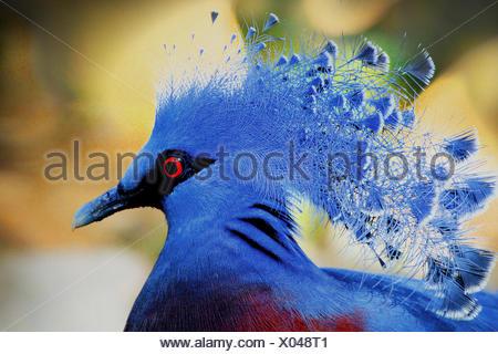 victoria crowned pigeon (Goura victoria), portrait - Stock Photo