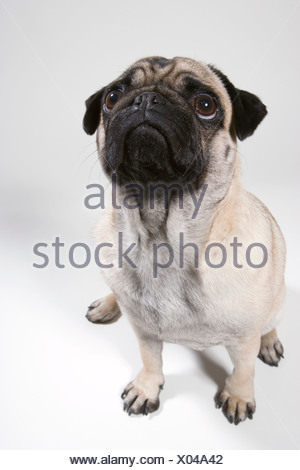 Pug dog, portrait - Stock Photo