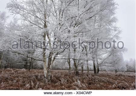 covered in frost birch trees in a clearing covered by fern in the Forest of Rambouillet, Haute Vallee de Chevreuse Regional Natural Park, Yvelines - Stock Photo