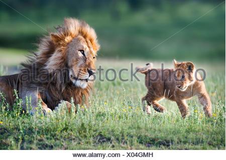 Male African Lion (Panthera leo) playing with 4 month cub. Big Marsh, near Ndutu, Nogorongoro Conservation Area, Serengeti National Park, Tanzania. - Stock Photo
