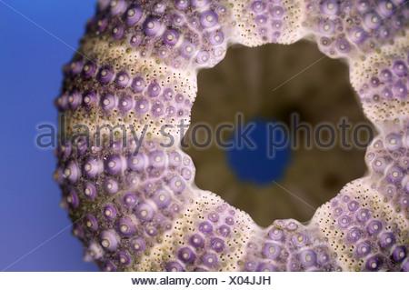 shore sea urchin, shore urchin, purple-tipped sea urchin (Psammechinus miliaris), Sea-urchin exoskeleton from a beach - Stock Photo