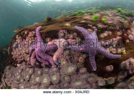 Ochre starfish in waters off the coast of British Columbia. - Stock Photo