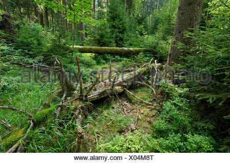 Dead wood in primeval spruce forest, Norway spruce (Picea abies), Harz National Park, Lower Saxony, Germany - Stock Photo