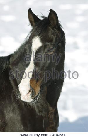 holstein - portrait - Stock Photo
