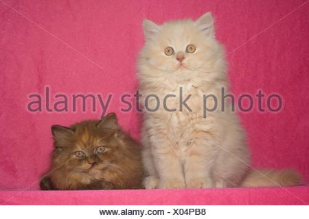 British Longhair, Highlander, Lowlander (Felis silvestris f. catus), two nine weeks old kittens - Stock Photo
