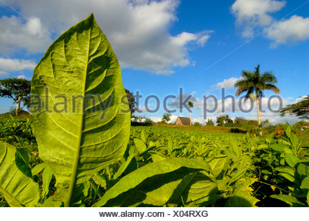 Tobacco plants in a field, palm tree at back, Vinales, Pinar del Rio, Cuba, Central America - Stock Photo
