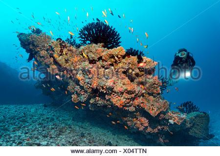 Scuba diver looking at a small coral reef with Black Sun Corals (Tubastrea micranthus), and Orange Cup Corals (Dendrophyllia - Stock Photo