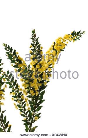 Kangaroo Thorn or Prickly Wattle (Acacia armata) - Stock Photo