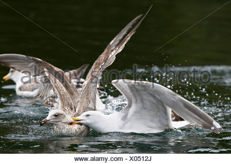 herring gull (Larus argentatus), two young birds fighting, Norway, Trondelag, Flatanger, Lauvsnes - Stock Photo