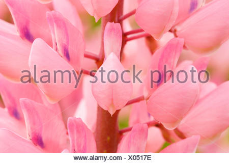 large leaved lupin, Lupinus polyphyllus, Switzerland Stock Photo