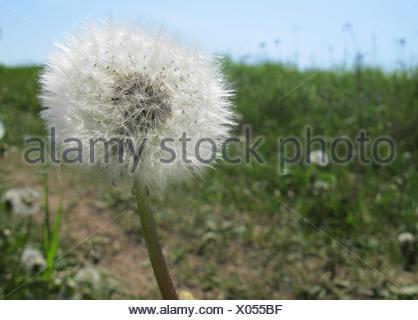 Berlin, Germany, Dandelions on a meadow - Stock Photo