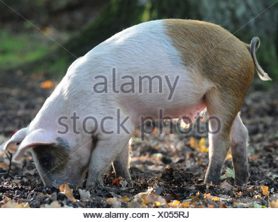 A pig in The New Forest hunting for acorns and digging with his nose. - Stock Photo
