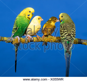 two parakeets and two canaries on branch / Melopsittacus undulatus Serinus canaria - Stock Photo