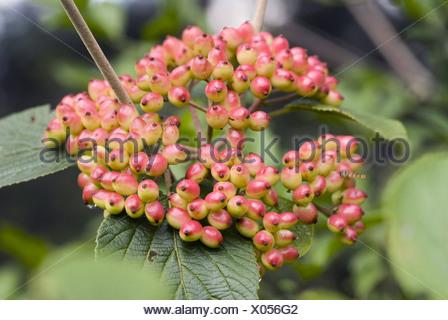 wayfaring tree, viburnum lantana - Stock Photo